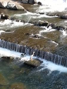 箱根湯本の川にたたずみ、じっと獲物を待っているサギ