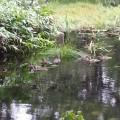 三湖に浮かぶカルガモの親子たち